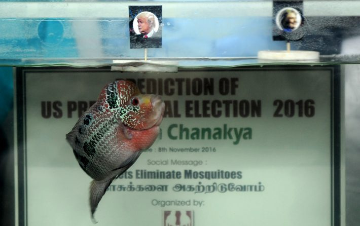 Indian organisers watch as fish named Chanakya swims to a portrait of US presidential candidate Donald Trump, (L), floating alongside a portrait of US presidential candidate Hillary Clinton in a fish tank, during an event in Chennai on November 8, 2016. A nervous world turned its gaze to America's 200 million-strong electorate November 8, 2016 as it chooses whether to send the first female president or a populist property tycoon to the White House. / AFP PHOTO / ARUN SANKAR